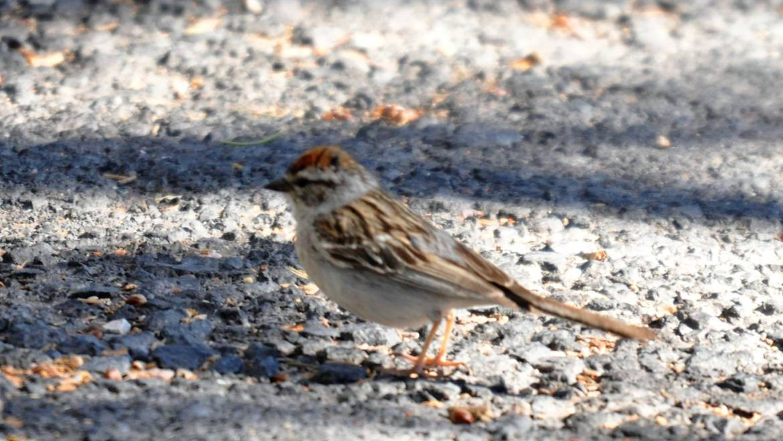 158. MUSGORS (Spizella passerina)