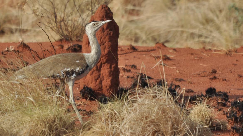 163. AUSTRALISCHE TRAP (Ardeotis australis)
