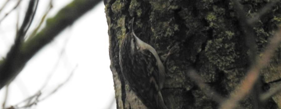 156. BOOMKRUIPER (Certhia brachydactyla)