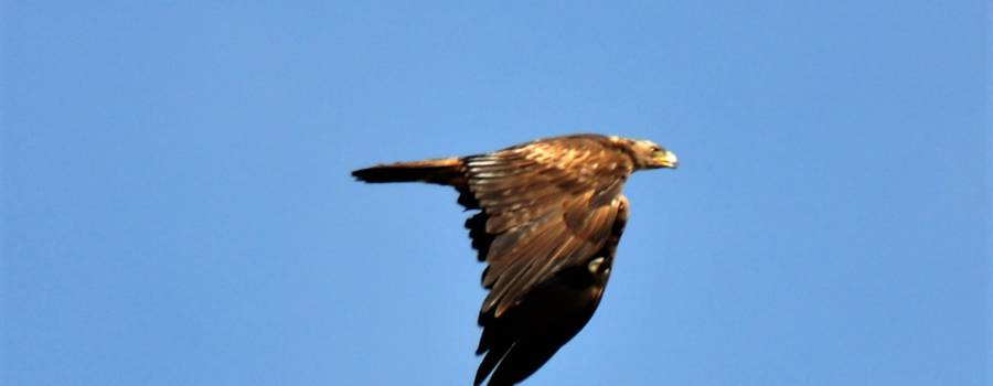 138. STEENAREND (Aquila Chryseatos)