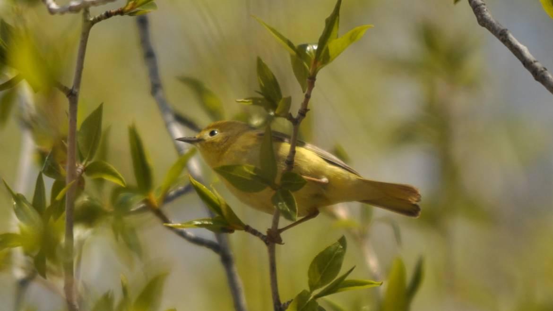119. Mangrovezanger (Dendroica petechia)