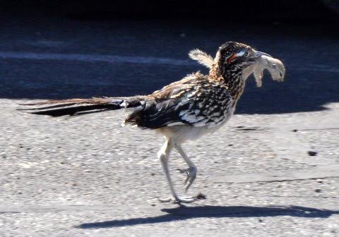 "151. GROTE RENKOEKOEK ""Road Runner"" (Geococcyx californianus)"