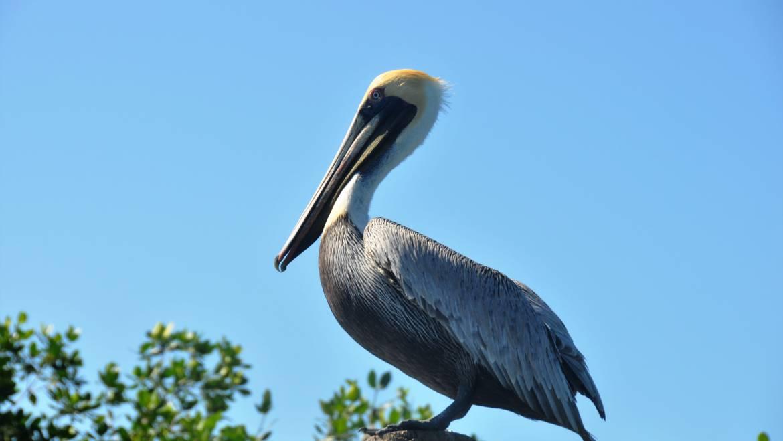 183. BRUINE PELIKAAN (Pelicanus occidentalis)