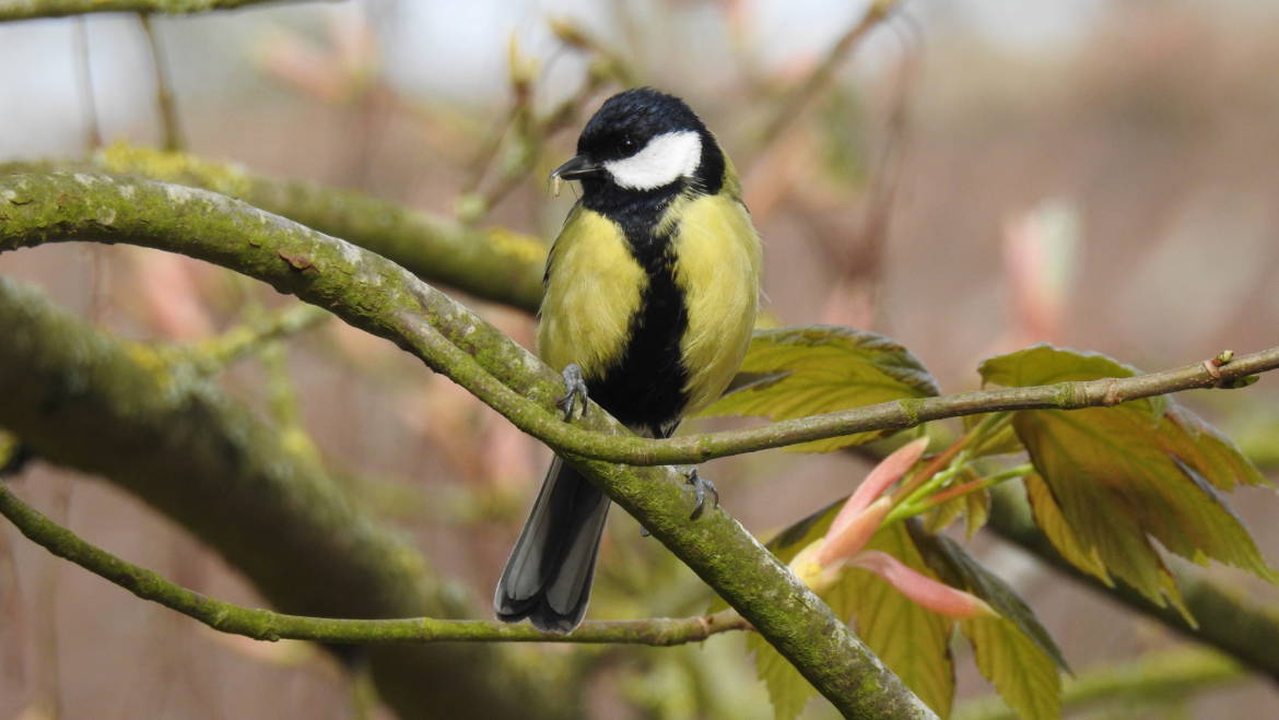 34. KOOLMEES (Parus major)