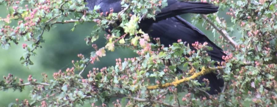 33. ZWARTE KRAAI (Corvus corone).