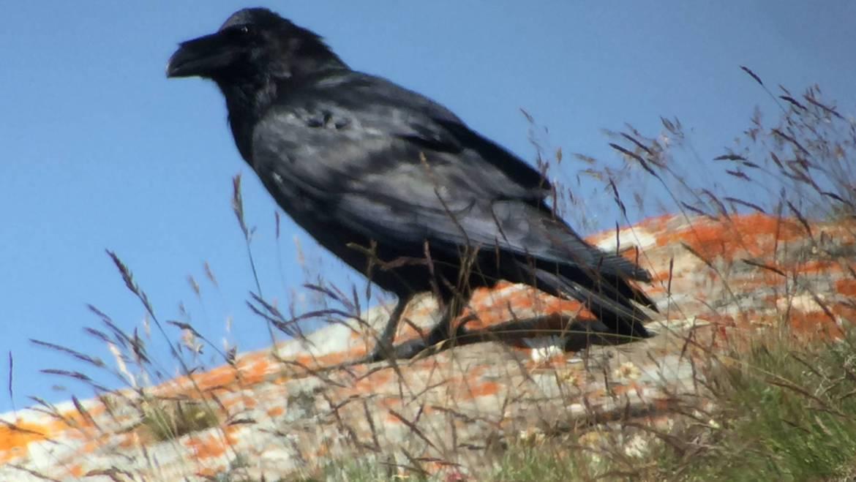 66. RAAF (Corvus corax)