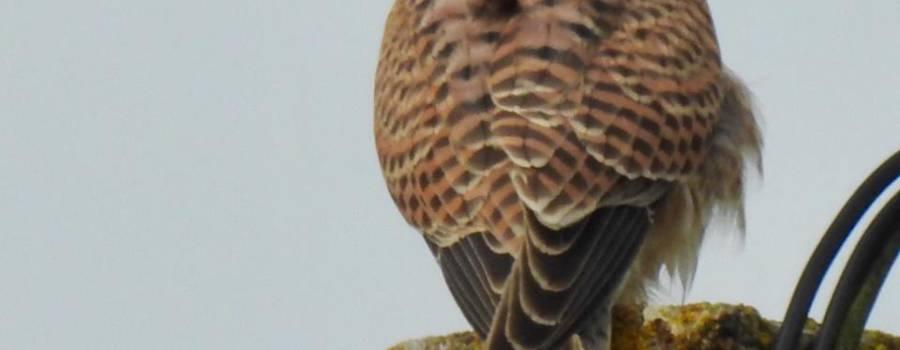 4. TORENVALK (Falco tinnunculus)