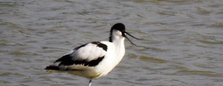 188. KLUUT (Recurvirostra avosetta)