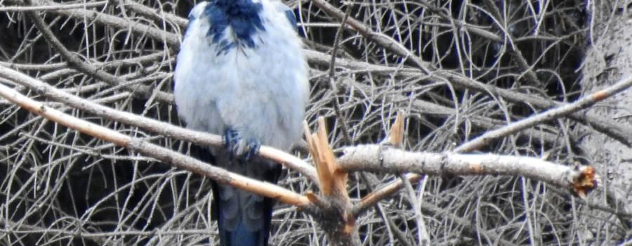204. BONTE KRAAI (Corvus cornix)