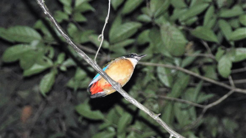 217. BLAUWVLEUGELPITTA (Pitta moluccensis)