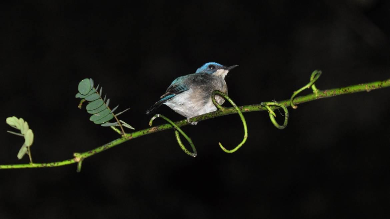 223. INDIGOVLIEGENVANGER (Eumyias indigo)