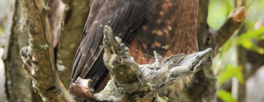 260. NIEUW-ZEELANDSE VALK (Falco novaeseelandiae)