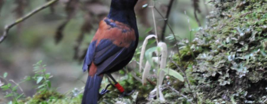 269. Noordelijke zadelrug (Philesturnus rufusater)