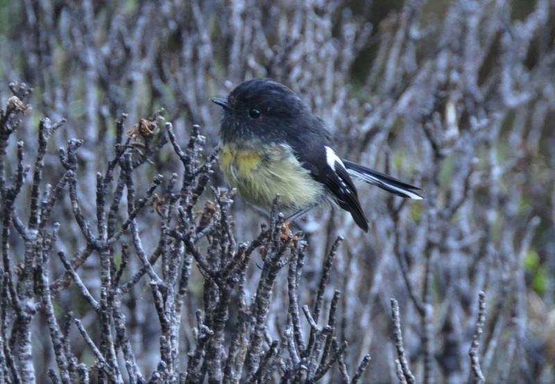266. Maorivliegenvanger (Petroica macrocephala)