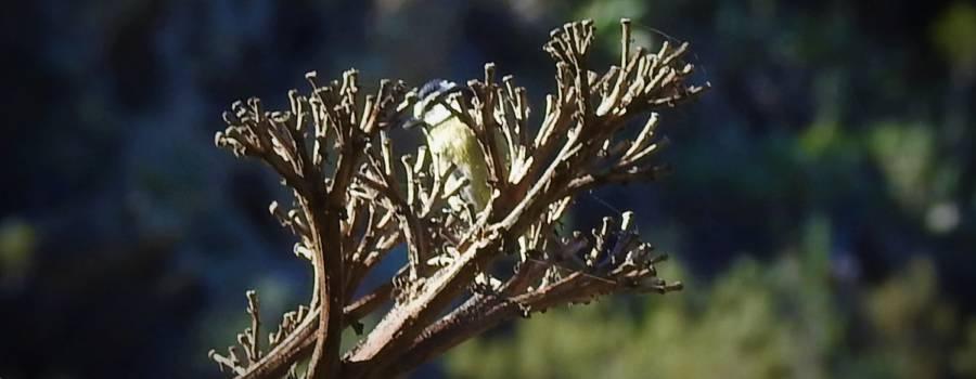 287. TENERIFEPIMPELMEES (Cyanistes teneriffae)