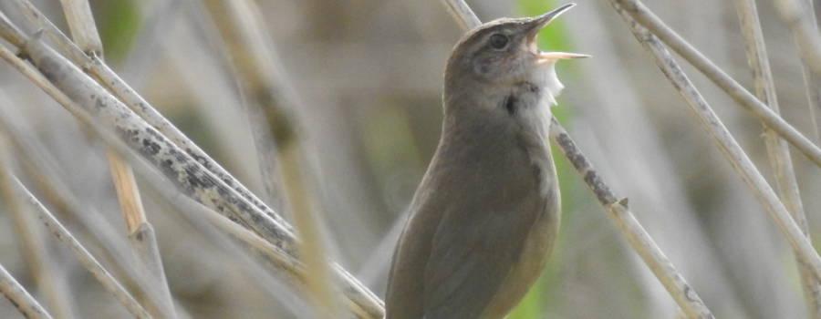 293. SNOR (Locustella luscinoides)