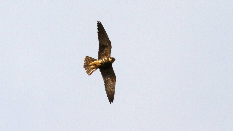 307. BOOMVALK (Falco subbuteo)