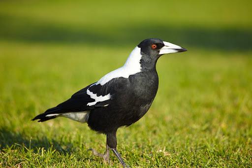 Zwartrugfluitvogel – schrik der wielertoeristen.